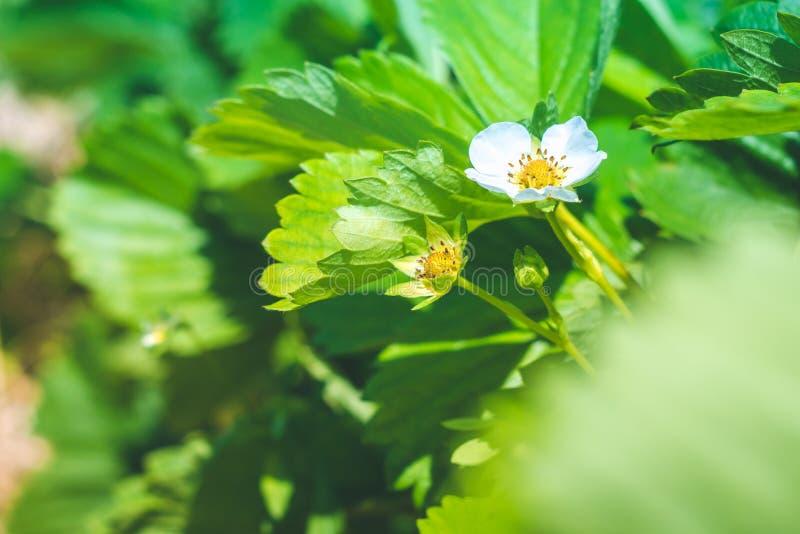 草莓花开花在领域的 图库摄影