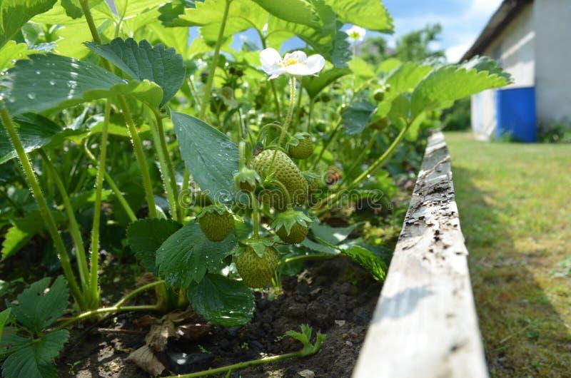 草莓莓果在乡间别墅里 库存图片