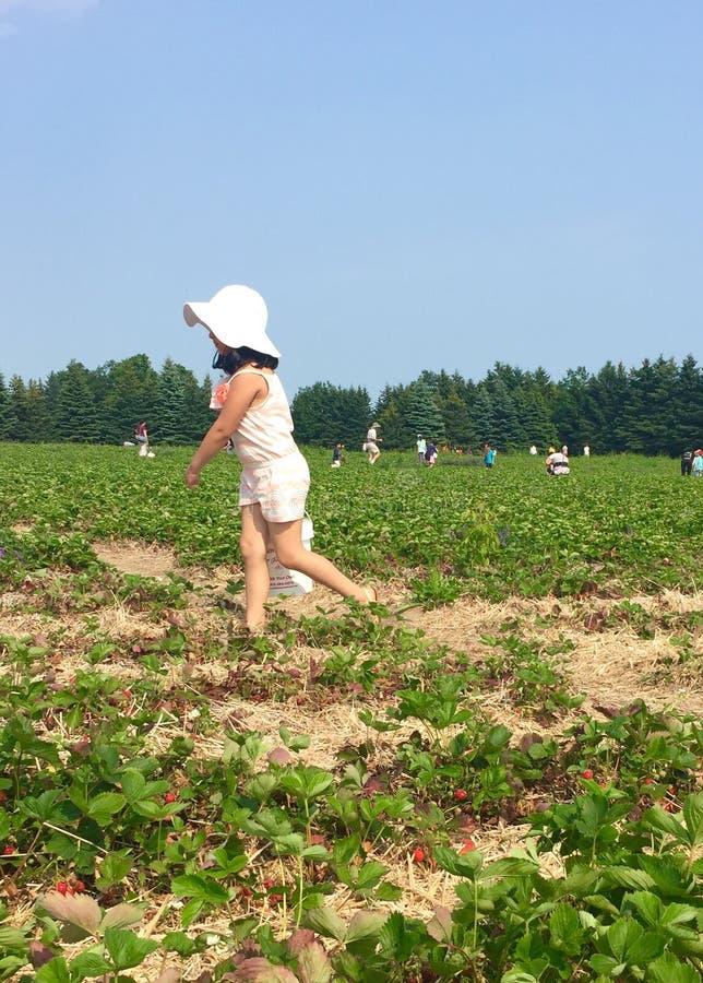 草莓采摘 免版税库存照片