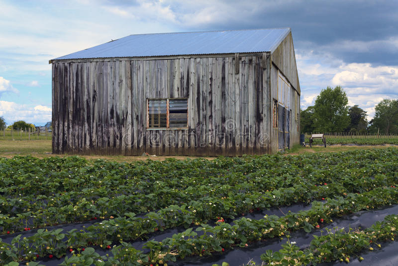 草莓领域的老谷仓 免版税库存照片