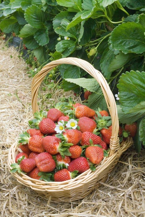 草莓领域篮子 库存图片