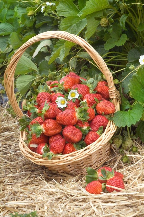 草莓领域 库存照片