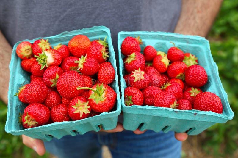 草莓,两品脱 免版税库存图片