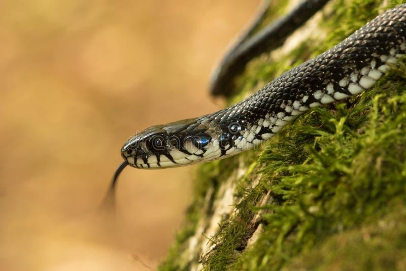 草蛇, Natrix natrix展示舌头 库存图片