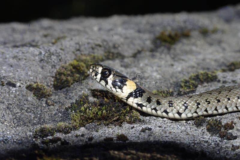草蛇(Natrix natrix) 免版税图库摄影