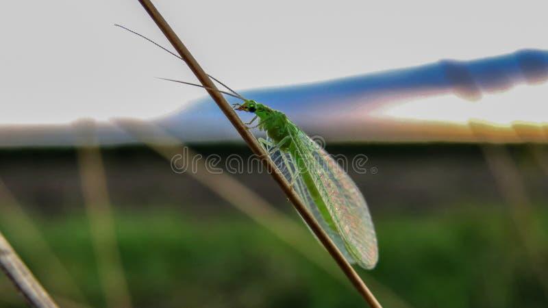 草蛉- Chrysoperla carnea 库存照片