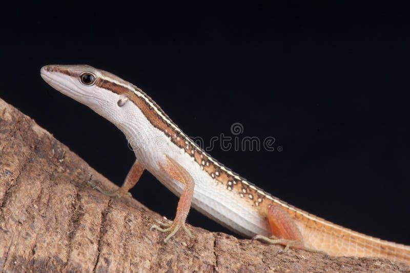 Download 草蜥蜴 库存照片. 图片 包括有 数据条, 察觉, 马来西亚, 蜥蜴, 地点, 食肉动物, 缅甸, 老挝 - 15684794