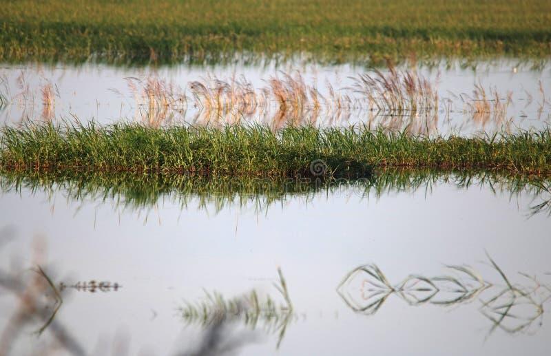 草补丁在水由于下的被充斥的河 免版税图库摄影