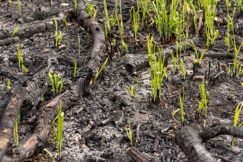 绿草通过灰发芽新芽在具球果森林背景纹理的火以后 免版税库存照片