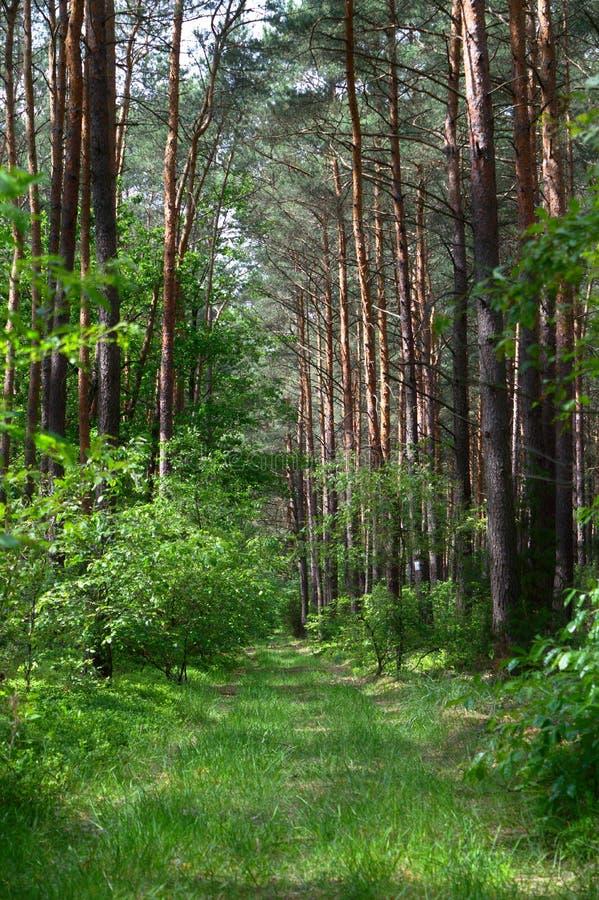 草道路在杉木森林里 免版税库存图片
