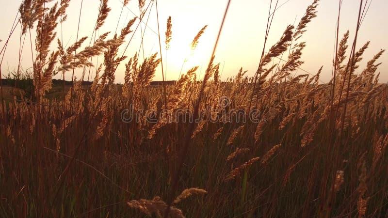 草阳光在黎明早晨夏天 自然领域棕色和黄色小尖峰草steadicam拍摄运动视频 库存图片