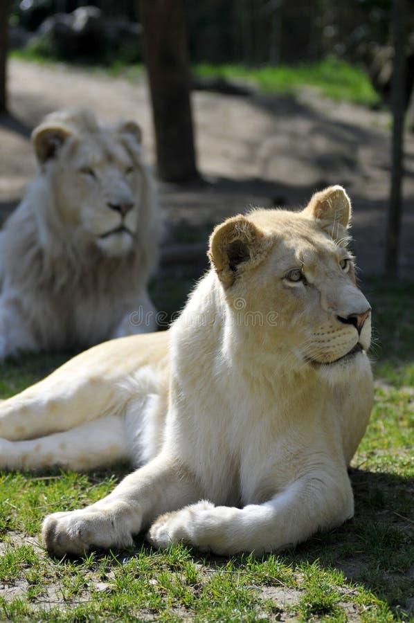 草雌狮位于的白色 库存图片