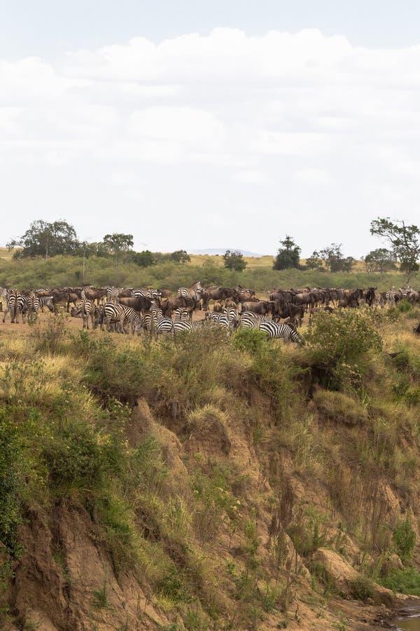 草食动物巨大的牧群在高银行的 肯尼亚,非洲 库存图片