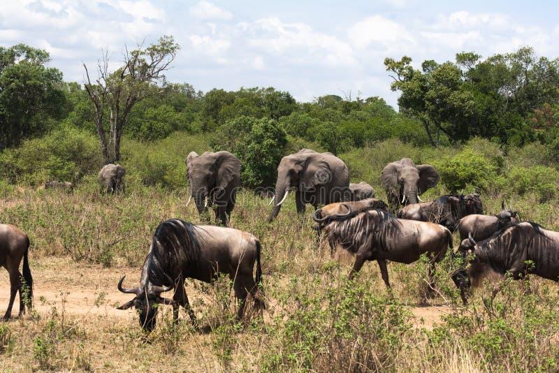 草食动物混杂的牧群在非洲的大草原的 肯尼亚mara马塞语 库存图片