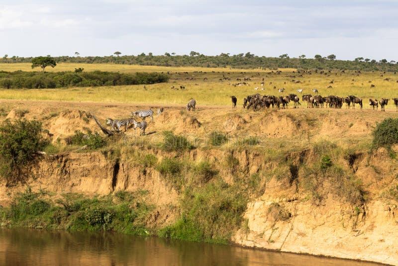 草食动物牧群在悬崖的 肯尼亚mara马塞语 免版税库存照片