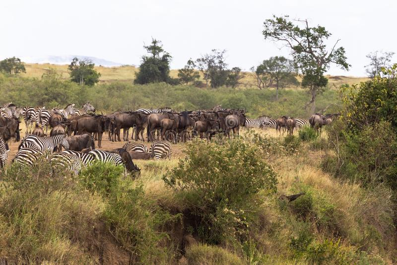 草食动物牧群在高银行的 肯尼亚mara马塞语 库存照片