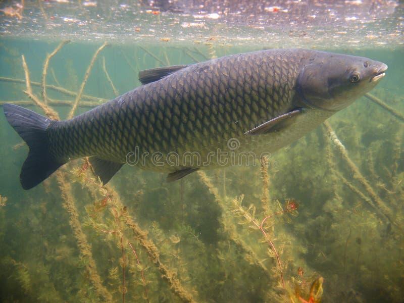 草鲤鱼Ctenopharyngodon idella的水下的图片 免版税图库摄影