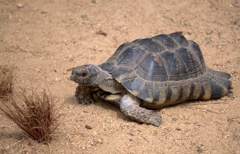 草龟乌龟 库存图片