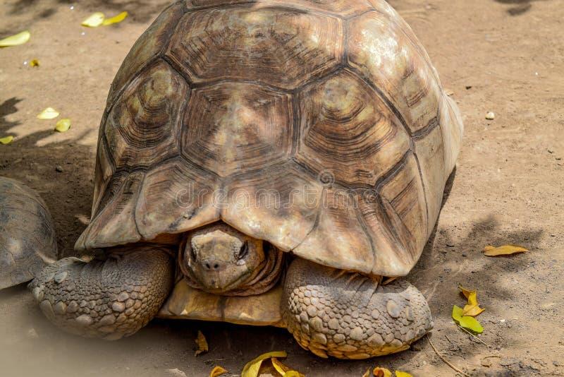 草龟掩藏 库存图片