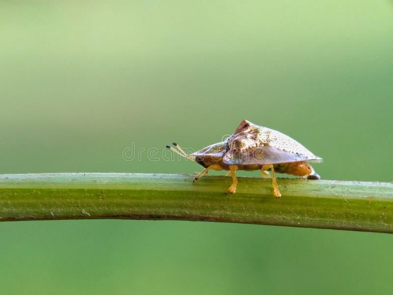 草龟甲虫 免版税库存图片