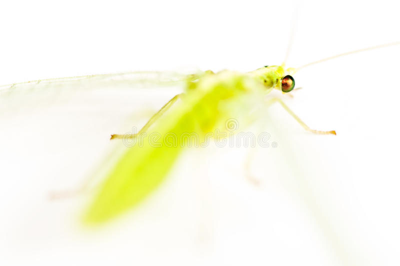 草蜻蛉在黑色被隔绝 库存照片