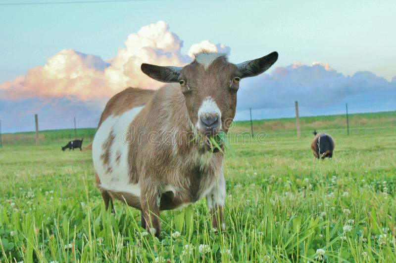 Download 绿草 库存图片. 图片 包括有 绿色, 山羊, 萘及利亚人, 矮人 - 72359375