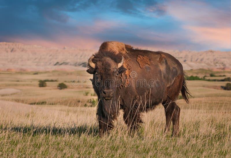 荒地北美野牛公牛 免版税库存照片