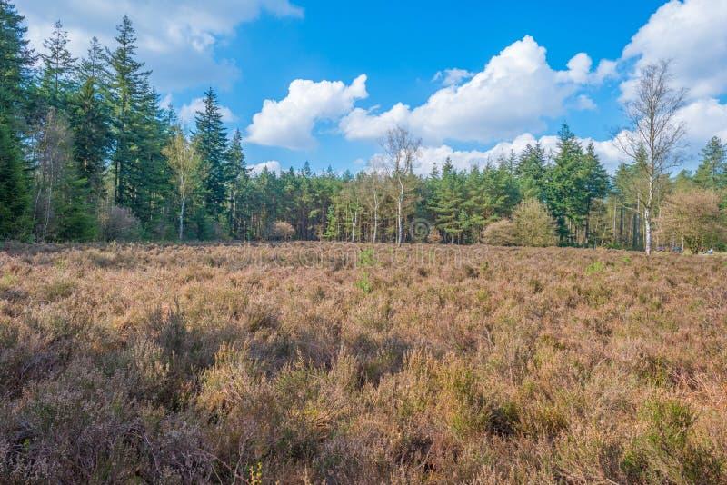 荒地在一个杉木森林里在春天 免版税库存照片