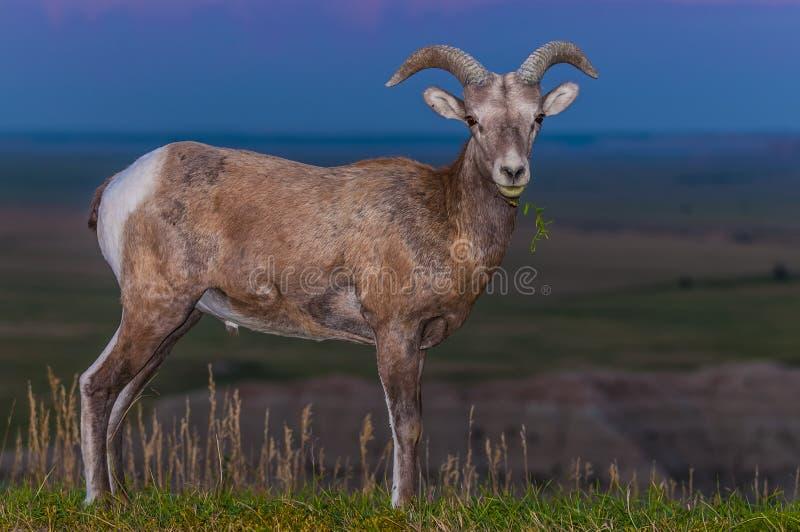 荒地大角野绵羊男性 免版税图库摄影