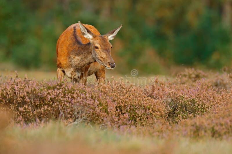 荒地荒野,秋天动物行为 马鹿, rutting季节, Hoge Veluwe,荷兰后面母鹿  鹿雄鹿,轰鸣声成人 免版税图库摄影