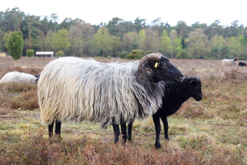 荒野绵羊Heidschnucke和在Luneburg荒地的幼小羊羔在翁德洛和Wilsede,德国附近 库存照片