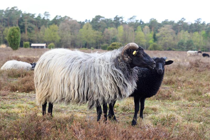 荒野绵羊Heidschnucke和在Luneburg荒地的幼小羊羔在翁德洛和Wilsede,德国附近 库存图片