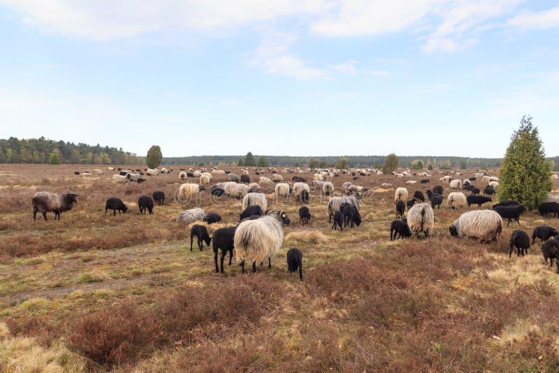 荒野绵羊Heidschnucke群与幼小羊羔的在翁德洛和Wilsede,德国附近的Luneburg荒地 库存图片
