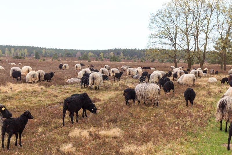 荒野绵羊Heidschnucke群与幼小羊羔的在翁德洛和Wilsede,德国附近的Luneburg荒地 库存照片
