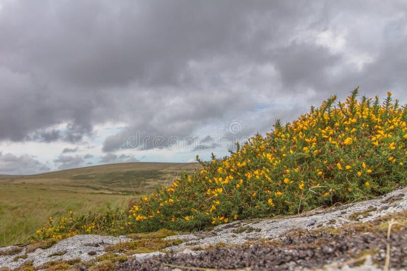 荒野花岗岩和金雀花 库存图片