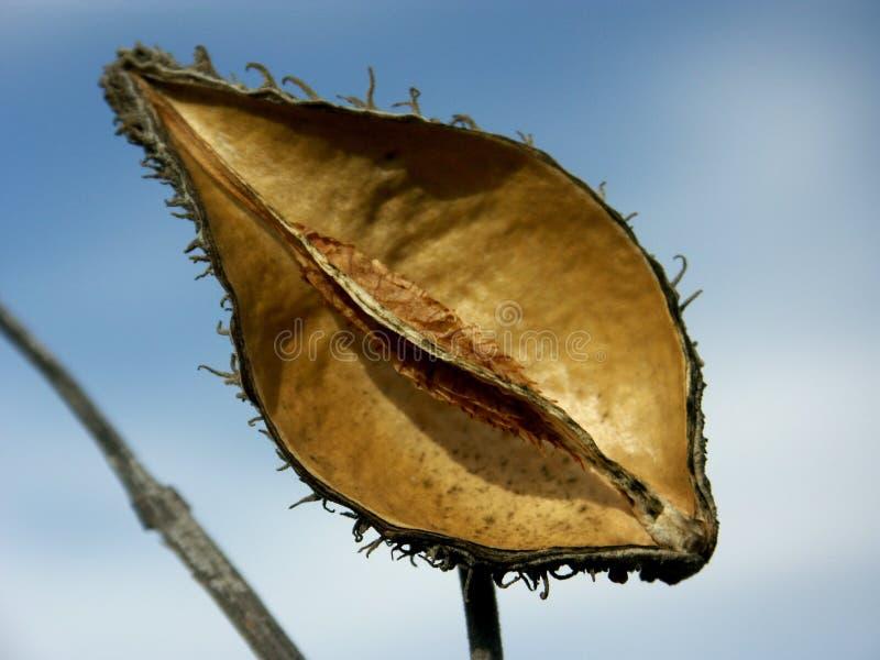 荚种子天空 免版税库存照片