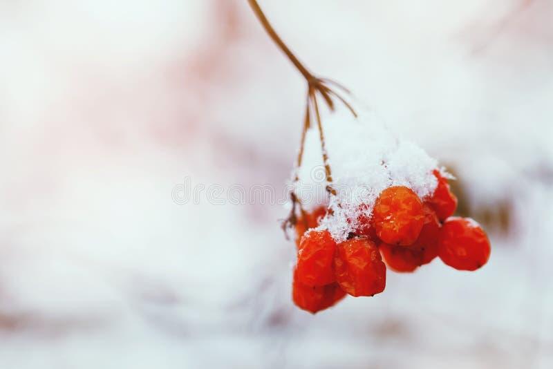 荚莲属的植物分支在雪的 库存图片
