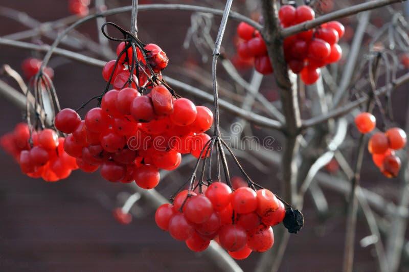 荚莲属的植物分支普通用莓果在晚秋天 库存图片