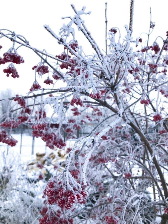 荚莲属的植物在一寒冷冬天天 免版税库存图片