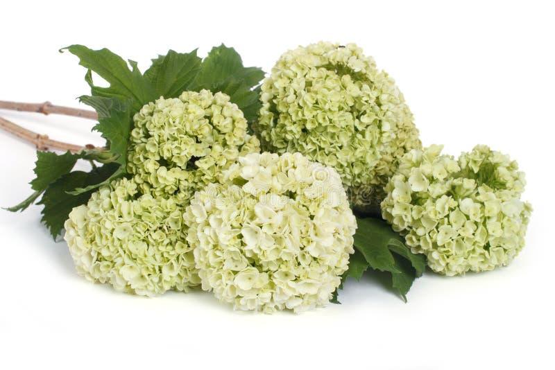 荚莲属的植物在白色隔绝的opulus花 免版税库存图片