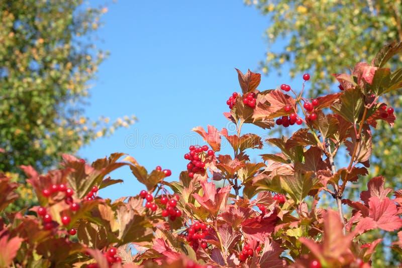荚莲属的植物灌木上面与全部的垂悬成熟红色莓果和绿色叶子在清楚的蓝色无云的天空水平的视图下 免版税库存照片