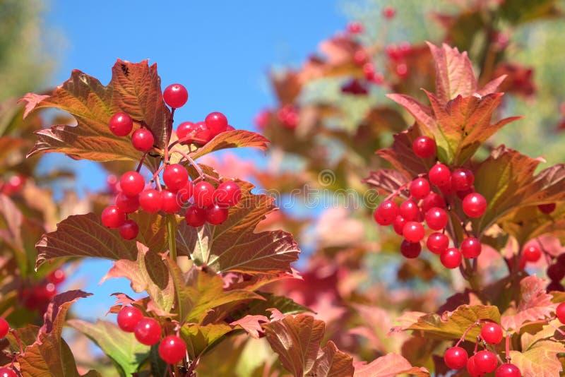 荚莲属的植物灌木上面与全部的垂悬成熟红色莓果和绿色离开在清楚的蓝色无云的天空水平的视图 库存图片