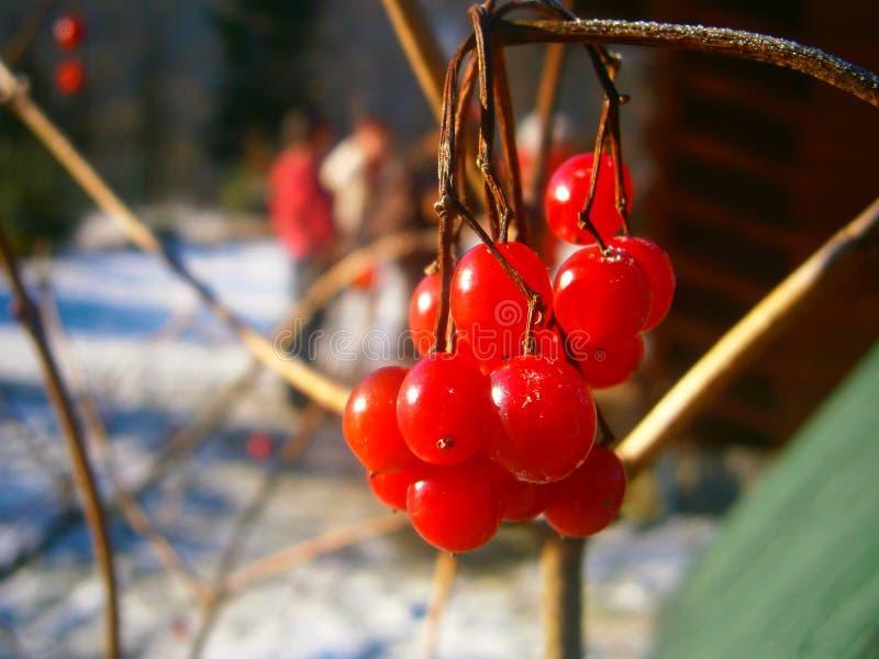 荚莲属的植物的分行接近的红色 库存照片