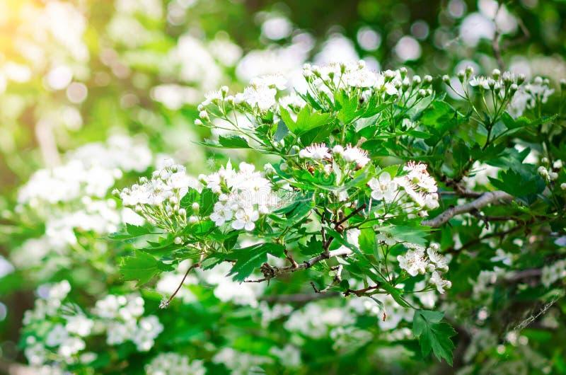 荚莲属的植物的开花的灌木 免版税图库摄影