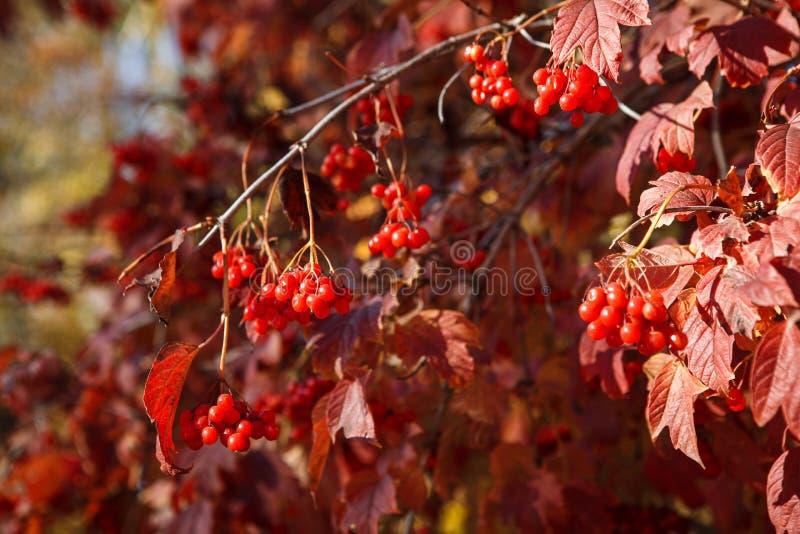 荚莲属的植物红色叶子用红色莓果点燃了明亮的太阳 库存图片