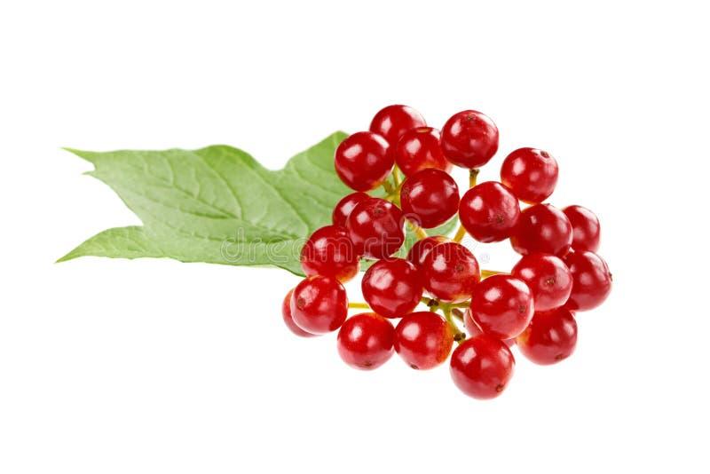 荚莲属的植物红色莓果在一个分支的与被隔绝的叶子 免版税库存图片