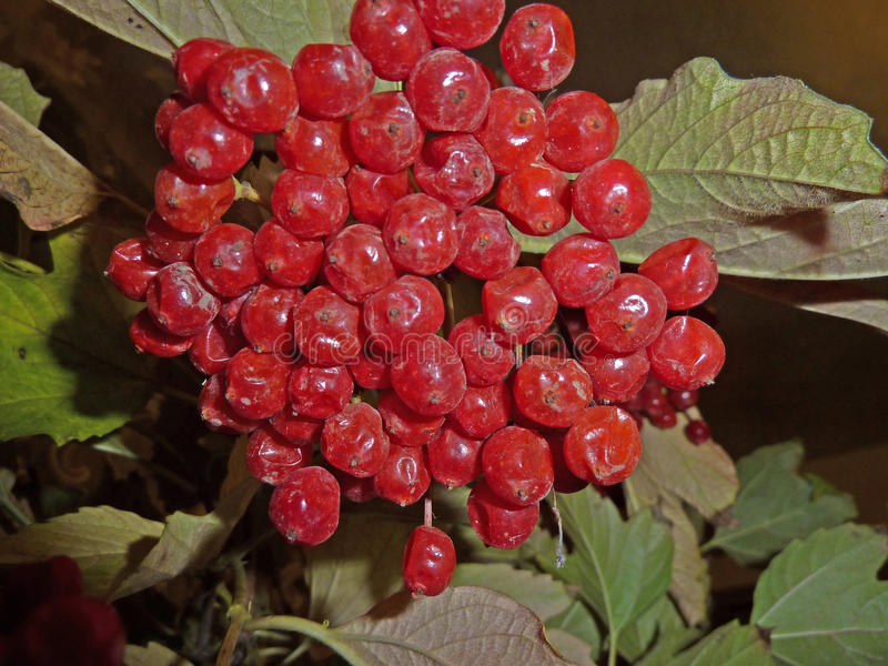 荚莲属的植物花束  免版税库存图片
