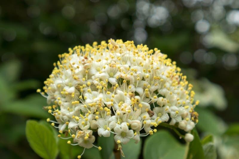 荚莲属的植物荚莲属的植物macrocephalum 图库摄影