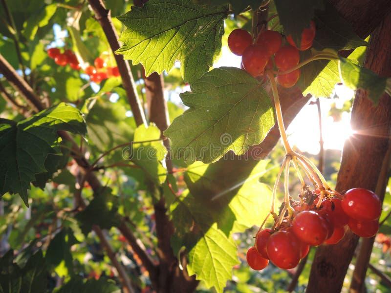 荚莲属的植物莓果,晴朗的晚上在庭院里 免版税图库摄影