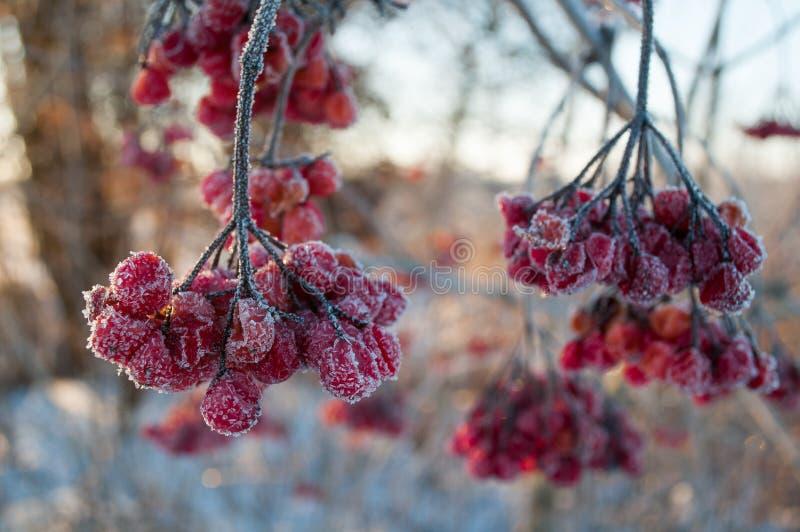 荚莲属的植物莓果 免版税图库摄影